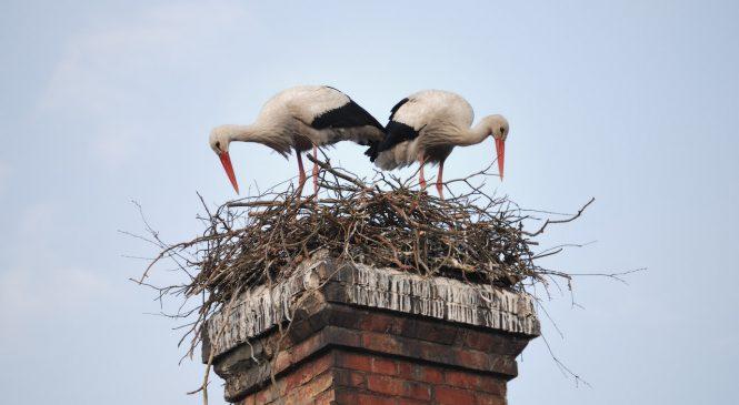 Гнездо аистов