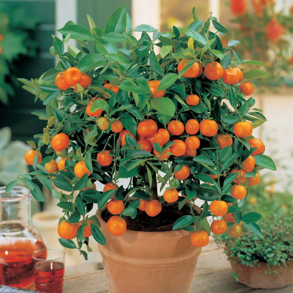 Посадить мандарин из косточки в домашних условиях