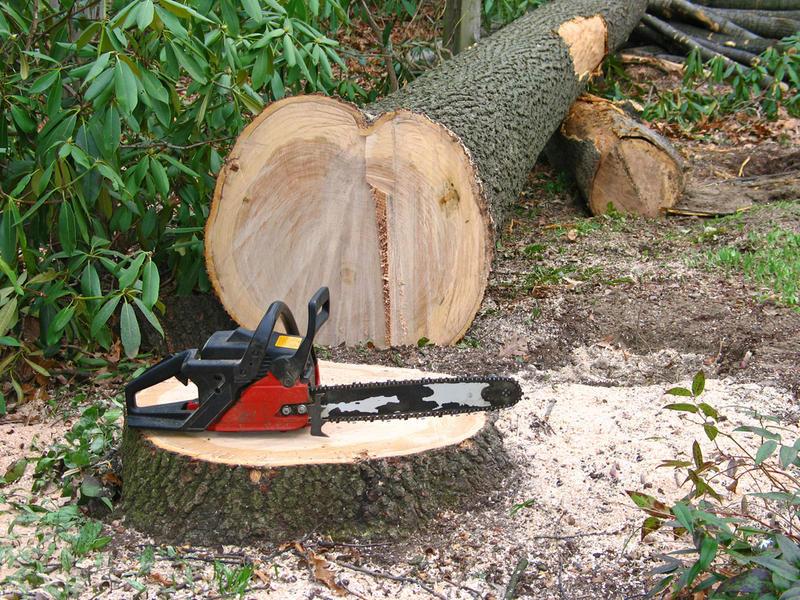Как спилить большое дерево бензопилой