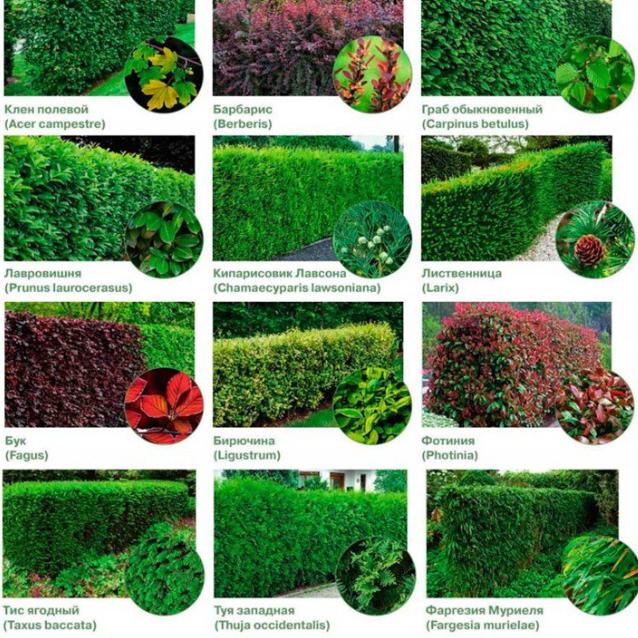 виды растений для изгороди и забора