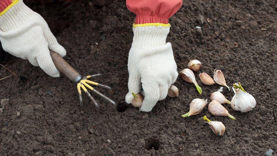 Правильное выращивание чеснока 65