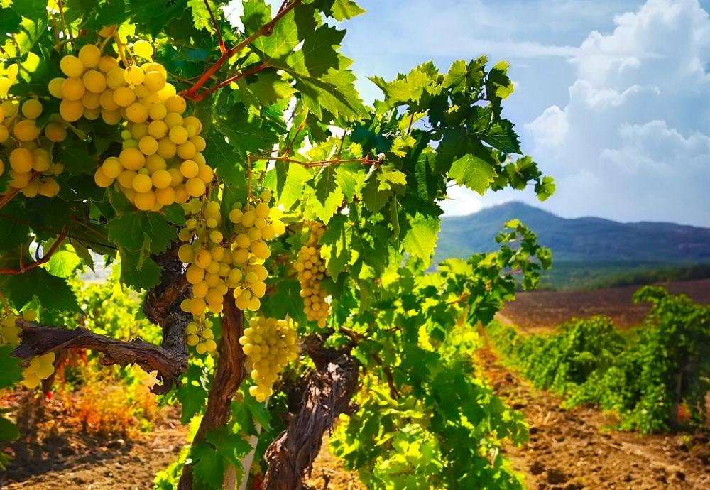 виноградник посадка