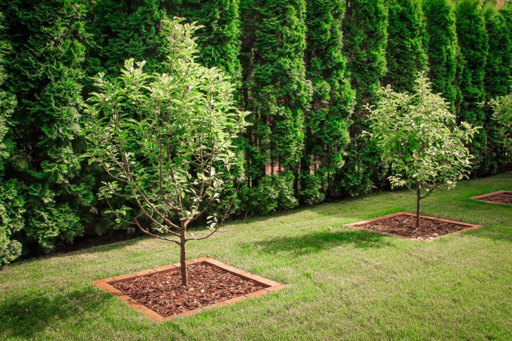 Посаженные в один ряд крупные деревья